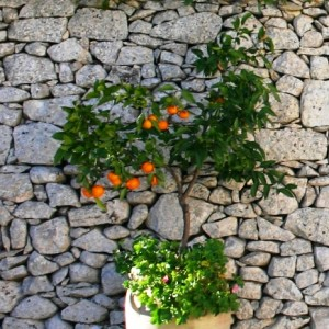 stone-wall-orange-tree-435-x-435