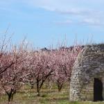 Capitelle et abricotiers, Sanilhac ; photo SMGG